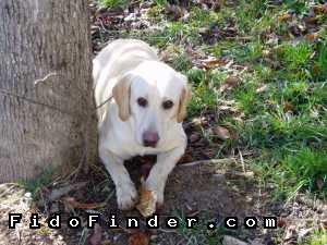 Safe Labrador Retriever in Clinton, TN US
