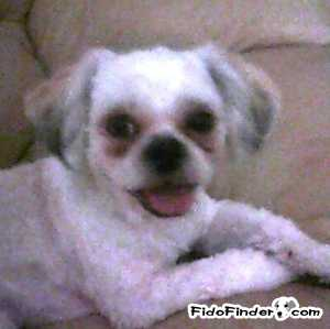 Safe Shih Tzu in Sebastian, FL US