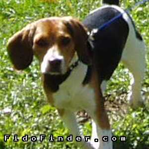 Safe Beagle in Pylesville, MD US