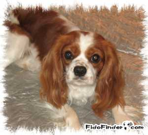 Safe Cavalier King Charles Spaniel in Morgantown, WV US