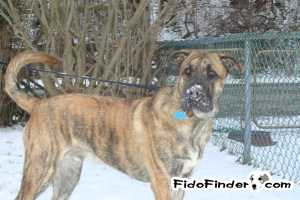 Safe Mastiff in Homestead, PA US