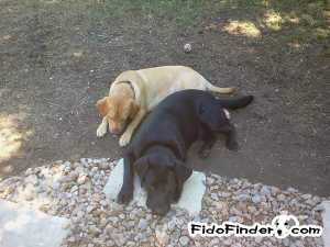 Safe Labrador Retriever in Spring, TX US
