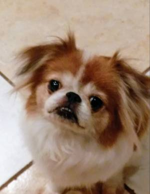 Safe Japanese Chin in Land O Lakes, FL US