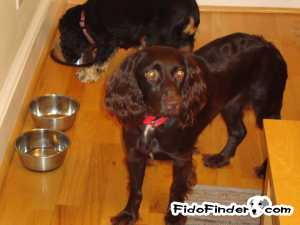 Safe Boykin Spaniel in Sharpsburg, GA US