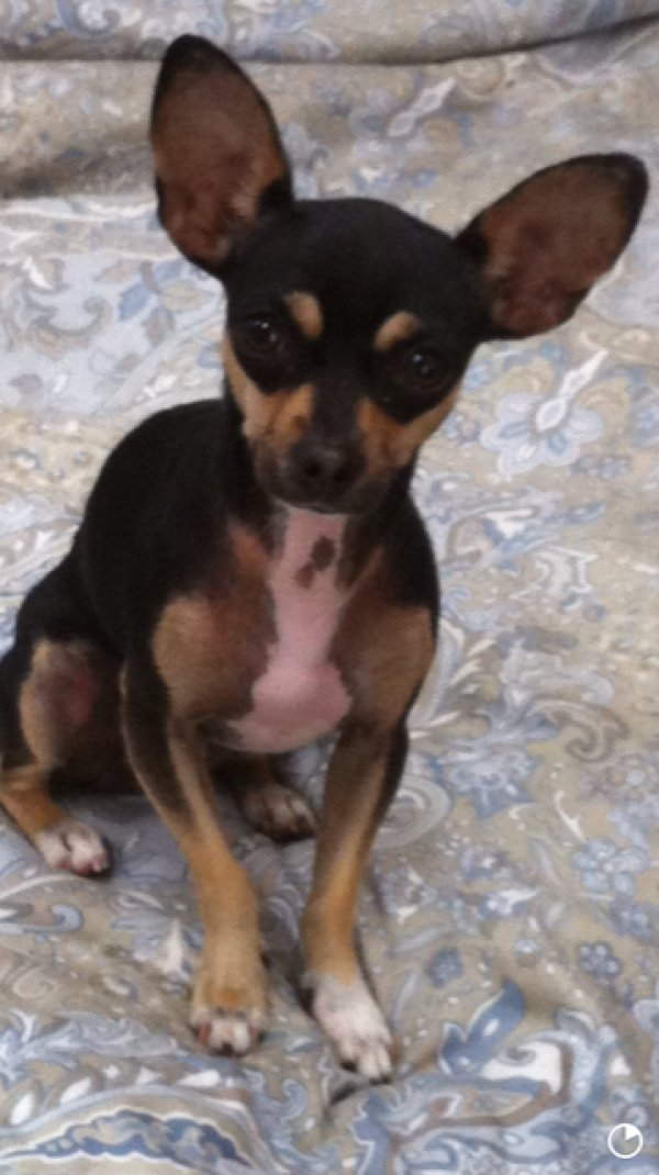 Lost Chihuahua in Ontario, CA US