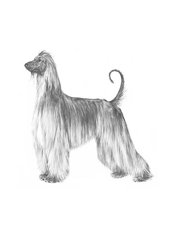 Safe Afghan Hound in Beverly Hills, CA US