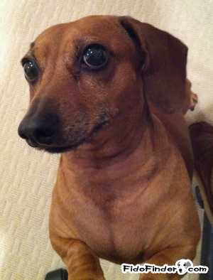 Safe Dachshund in Matawan, NJ US