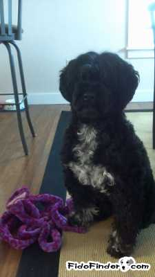 Safe Portuguese Water Dog in Holden, ME US