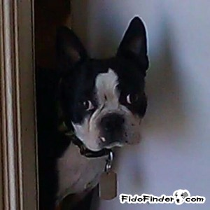 Safe Boston Terrier in Scottsdale, AZ US