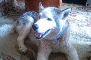 Safe Siberian Husky in Portsmouth, VA US