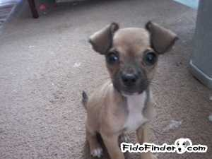 Safe Chihuahua in Hallsville, TX US