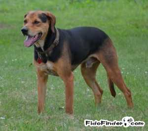 Safe Black and Tan Coonhound in Swannanoa, NC US