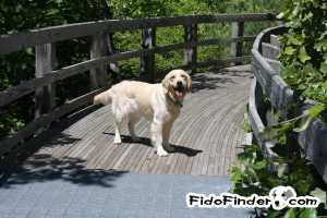 Safe Golden Retriever in Annapolis, MD US