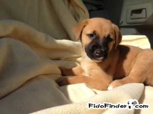 Safe Labrador Retriever in Minot, ND US