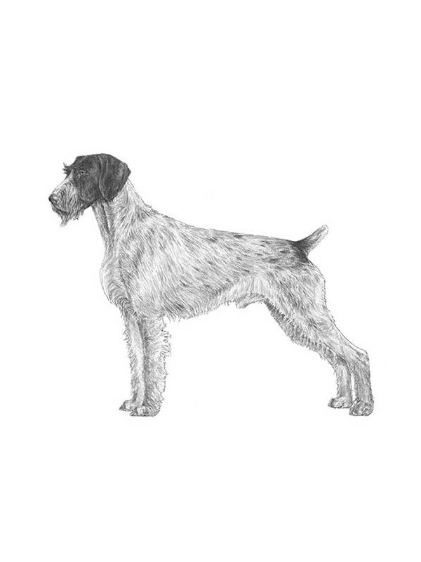 Safe German Wirehaired Pointer in Corona, CA US