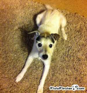 Safe Jack Russell Terrier in Austin, TX US