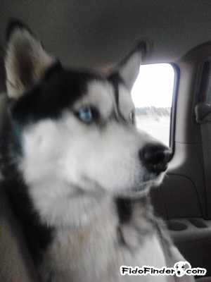 Safe Siberian Husky in Box Elder, SD US