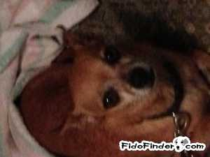 Safe Chihuahua in Coppell, TX US