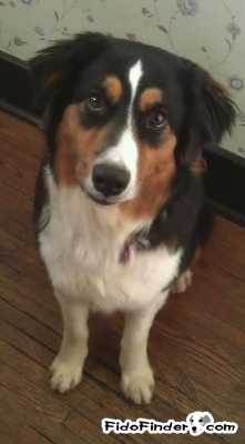 Safe Australian Shepherd in Nashville, TN US