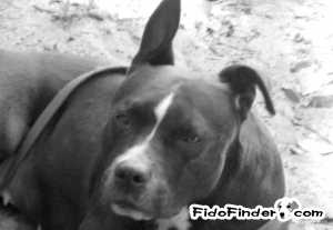 Safe Staffordshire Bull Terrier in Port Richey, FL US