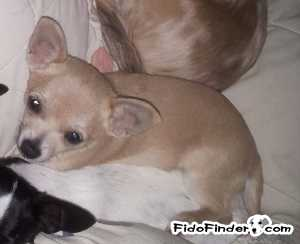 Safe Chihuahua in Largo, FL US