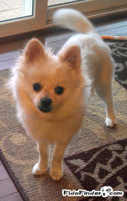Safe Pomeranian in Grove City, OH US