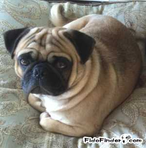 Safe Pug in Levittown, PA US