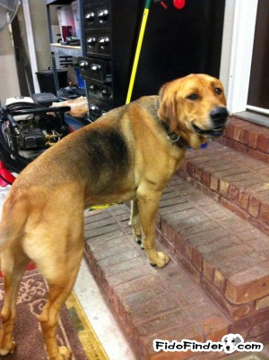 Safe Black and Tan Coonhound in Strawberry Plains, TN US
