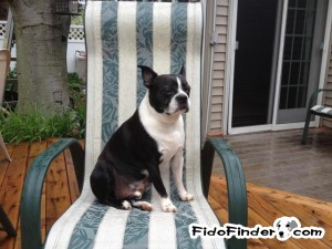 Safe Boston Terrier in Plainfield, NJ US
