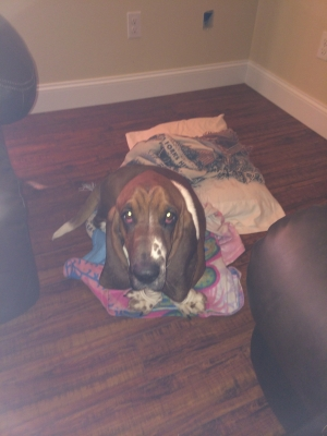 Safe Basset Hound in Beattyville, KY US