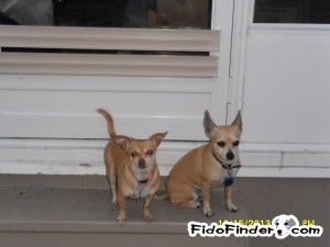 Safe Chihuahua in New Port Richey, FL US
