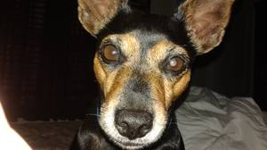 Safe Miniature Pinscher in Saint Petersburg, FL US
