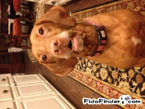 Safe Vizsla in Sugar Land, TX US