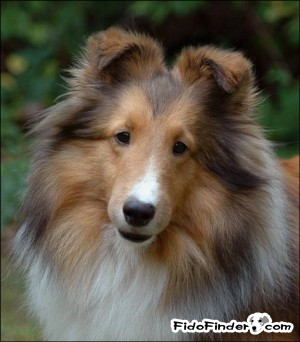 Safe Shetland Sheepdog in New Milford, CT US