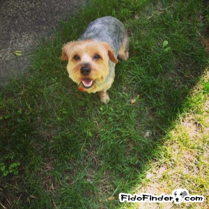 Safe Yorkshire Terrier in Everett, MA US