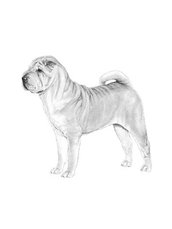 Safe Chinese SharPei in Akron, OH US