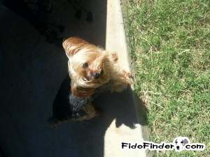 Safe Yorkshire Terrier in Lawton, OK US