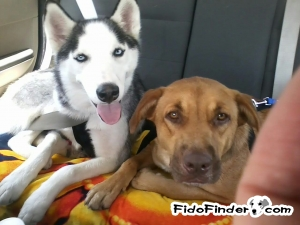 Safe Siberian Husky in Houston, TX US