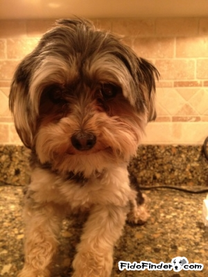 Safe Yorkshire Terrier in Belleville, IL US
