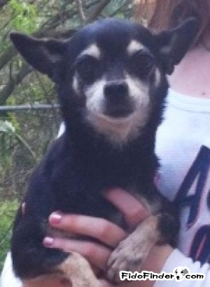 Safe Chihuahua in Sanford, FL US