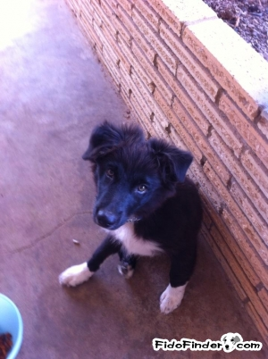 Safe Border Collie in College Station, TX US