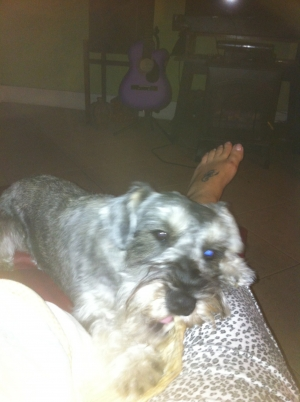 Safe Miniature Schnauzer in Tampa, FL US