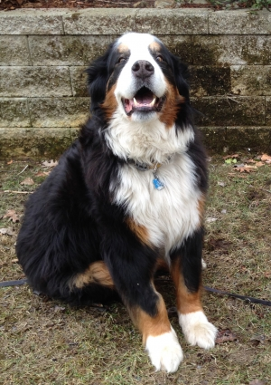 Safe Bernese Mountain Dog in Marlborough, MA US