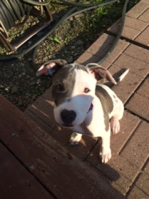 Safe American Staffordshire Terrier in Troy, NY US