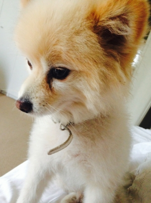 Safe Pomeranian in Beverly Hills, CA US