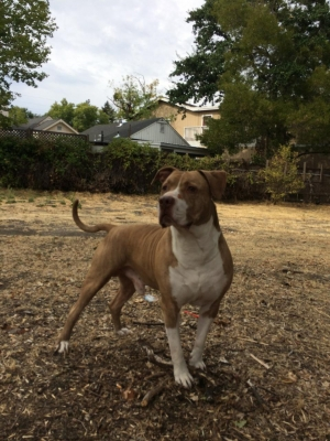 Safe Pit Bull in Concord, CA US