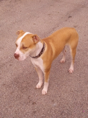Safe Pit Bull in Chicago, IL US