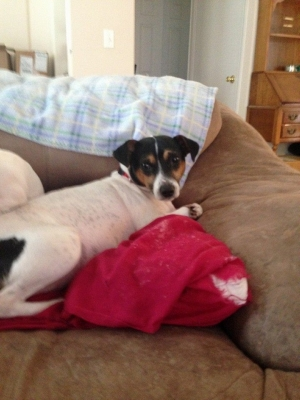 Safe Rat Terrier in Thornton, CO US