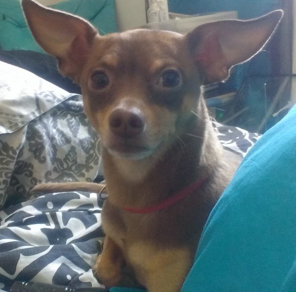 Lost Chihuahua in Riverside, CA US