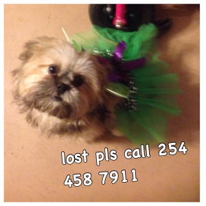 Safe Shih Tzu in Nolanville, TX US